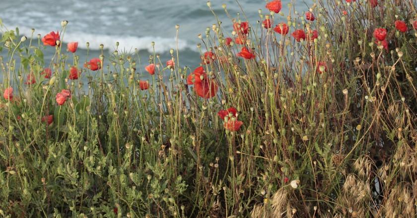 Poppies in Vama Veche I © Georgeta Gheorghe