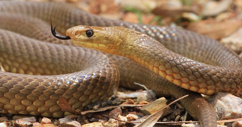 Australia's 10 Most Venomous Snakes