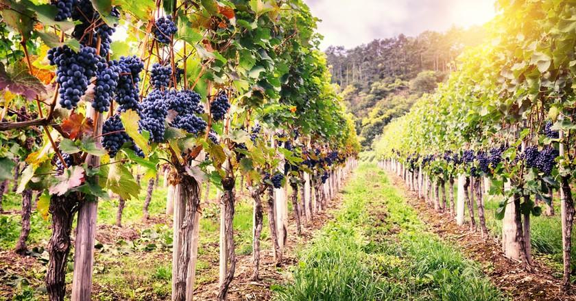 French vineyards in Autumn   © Symbiot/Shutterstock