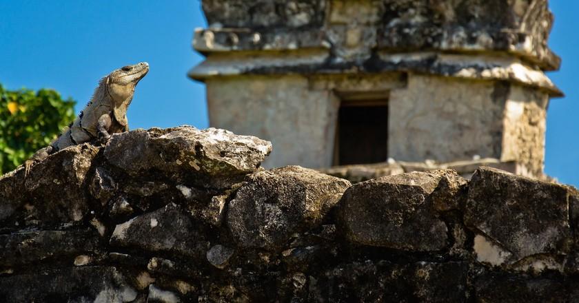 Iguana in Tulum ruins | © Guillén Pérez / Flickr