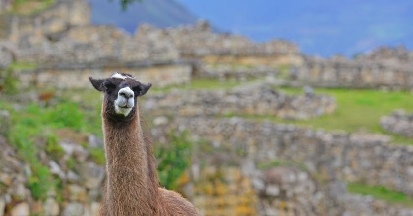A llama in Kuélap | ©Panegyrics of Granovetter/Flickr