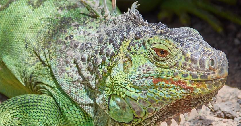Green Iguana   © RoyBuri/pixabay
