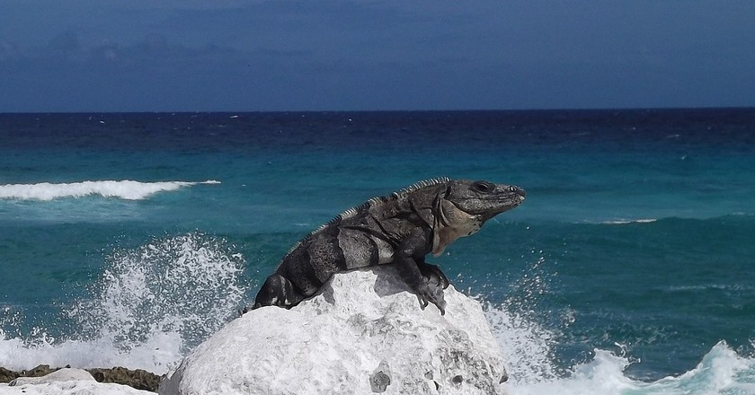 An iguana on the rocks of a beach in Cozumel | © henigede / Pixabay