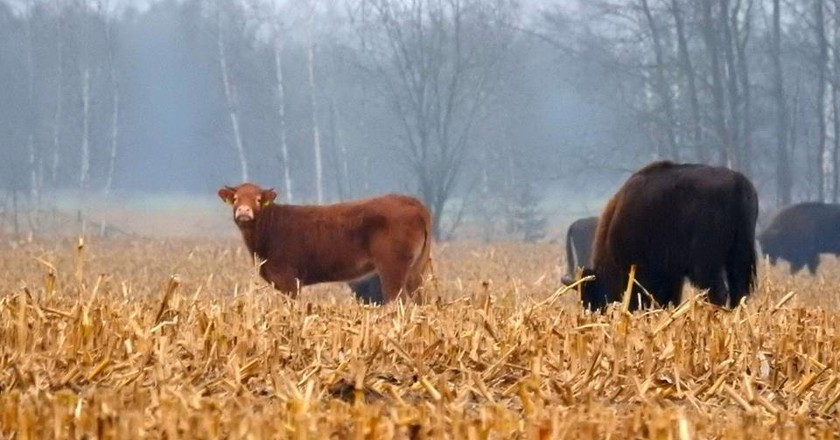 A cow amongst the Bison | © Adam Zbyryt via Facebook