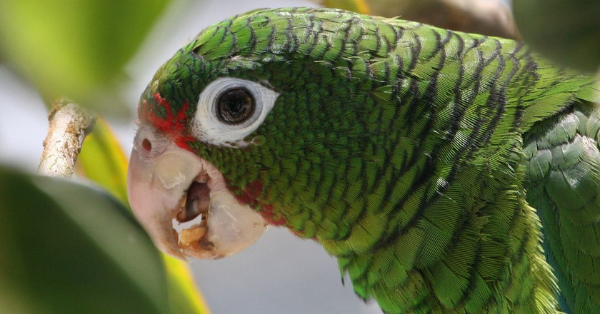 Endangered Puerto Rican Parrot   © US Fish and Wildlife Service/flickr