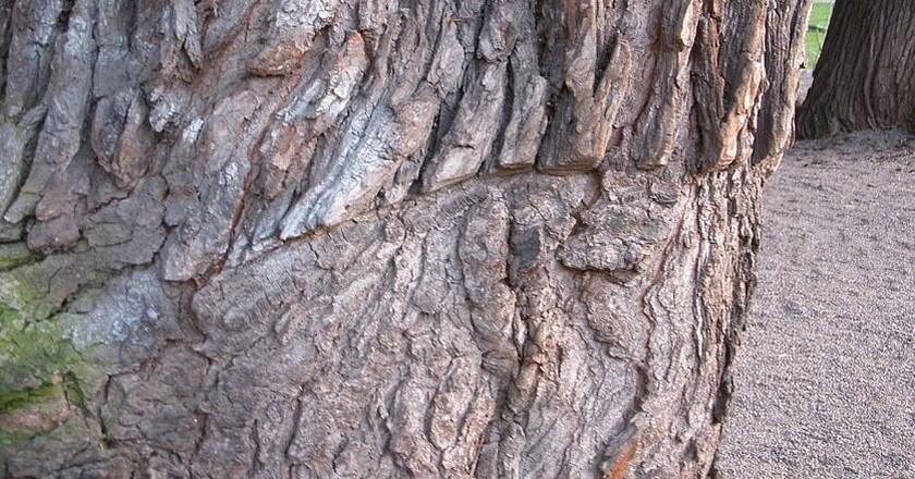 One of the battle scars left on an Elm Tree in Kungstradgarden | © Holger.Ellgaard/WikiCommons