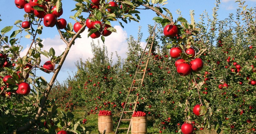 Apples orchard © Pixabay/lumix2004