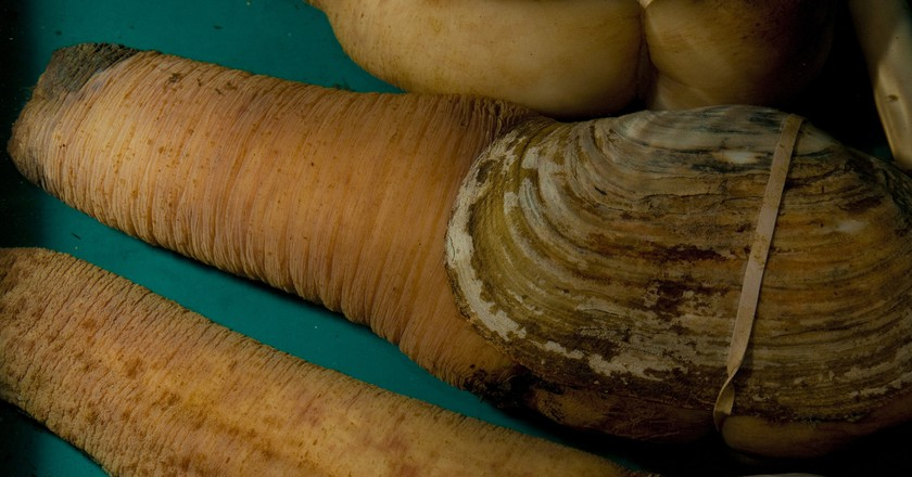 Geoducks | © VIUDeepBay / Flickr