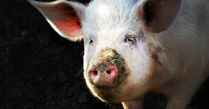 Big Fat Pig   © Clemson/Flickr