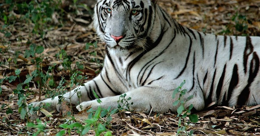 The white Bengal tiger is one of the most popular animals at the Vandalur Zoo | ©Bagavath G/Wiki Commons