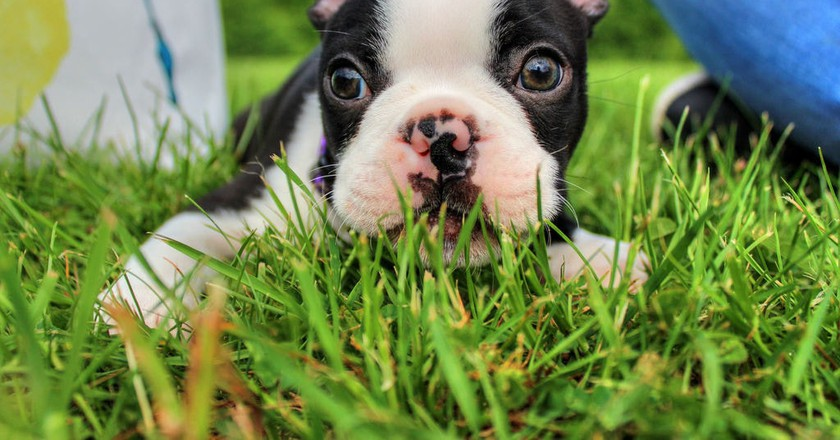 Boston Terrier | © Black Nexus.cz Photography / Flickr