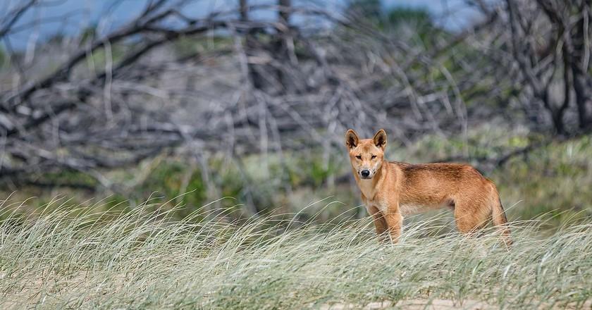 Fraser Island dingo | © Newretreads/Wikimedia Commons