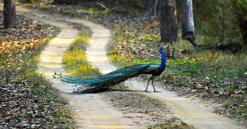Peacock, the national bird of India, at Kanha National Park, Madhya Pradesh   © Ashishmahaur/Wiki Commons