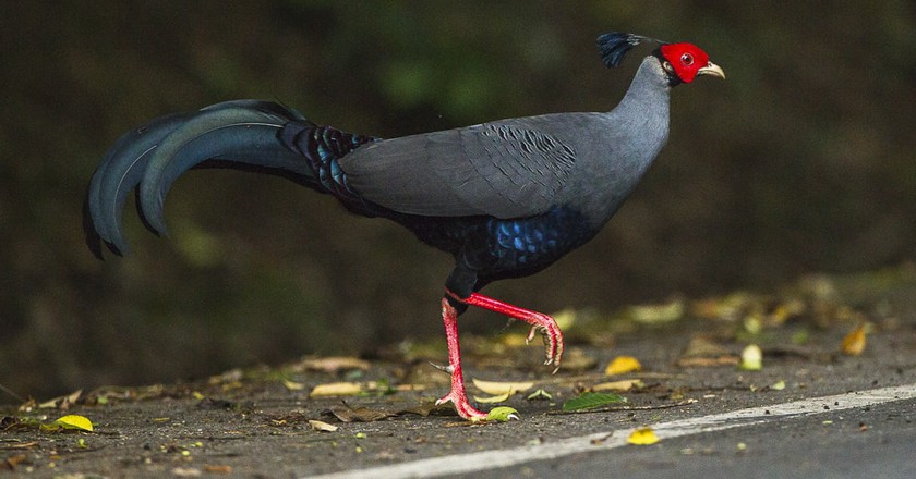 Siamese Fireback: 11 Facts About Thailand's National Bird