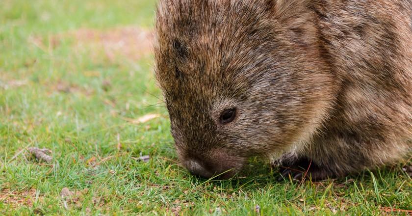 A wombat on Tasmania's Noah's Ark