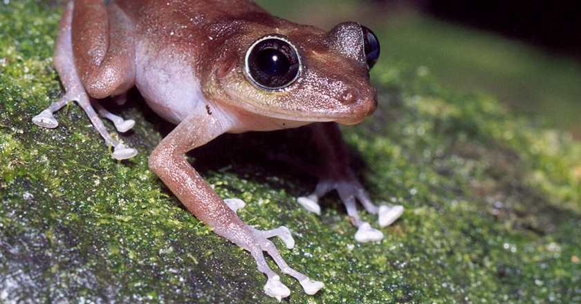 Heres Why The Coqu Frog Is The Symbol Of Puerto Rico