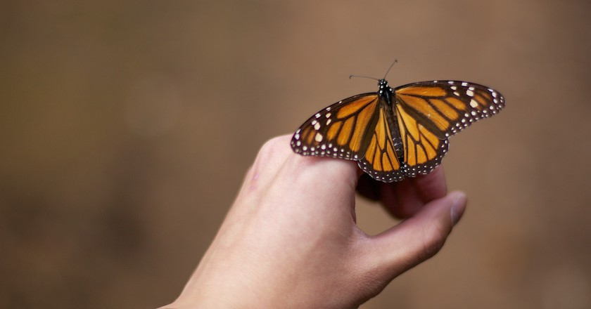 Monarch butterflies migrate to Mexico each year