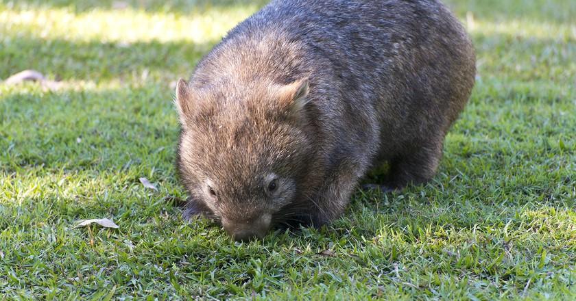 One of Australia Zoo's wombats