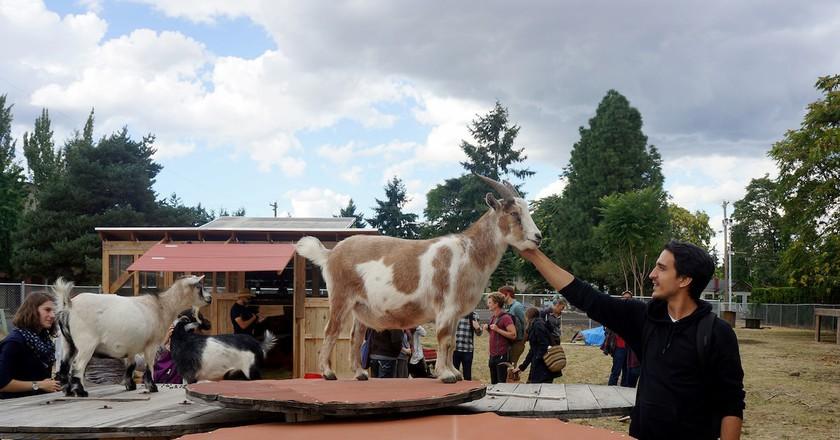The Belmont Goats