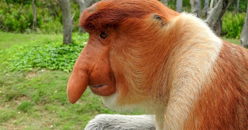 Proboscis monkey: What a face!