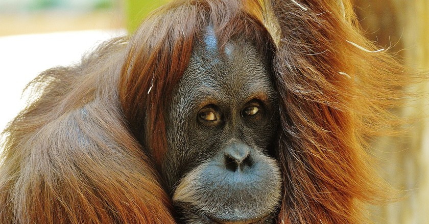 Orang Utan in Borneo island | © Pixabay