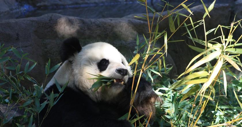 A panda eats bamboo at the San Diego Zoo