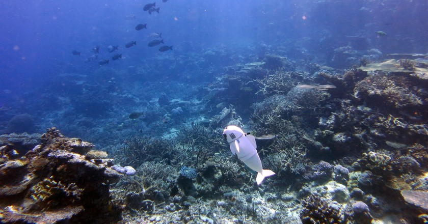 SoFi, MIT's robotic fish