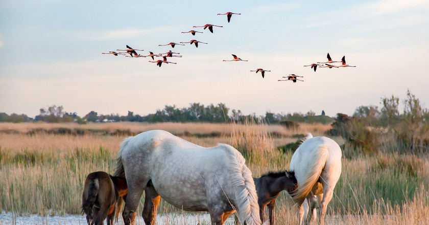 Flamingos and white horses in the Camargue