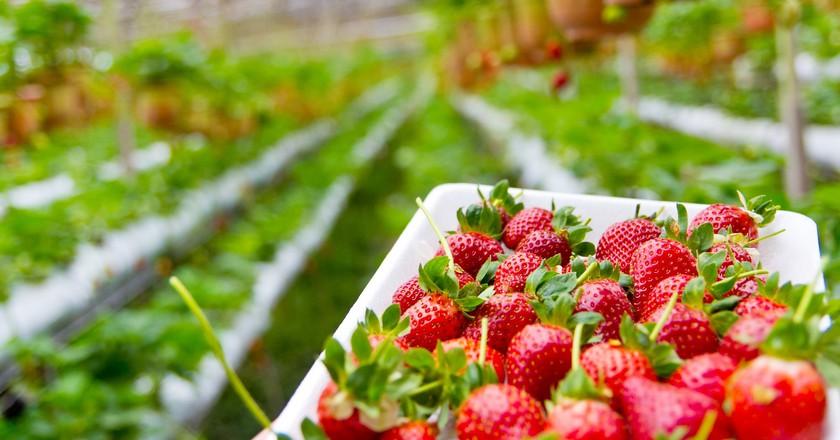 Go strawberry-picking at Knaus Berry Farm