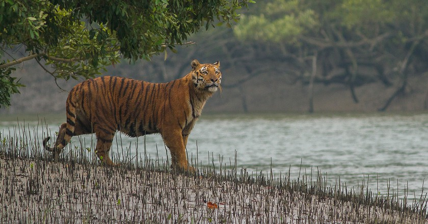 Royal Bengal Tiger at Sundarbans National Park | Soumyajit Nandy /WikiCommons