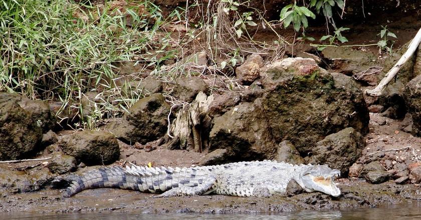Crocodile smile | © Mike Baird / Flickr