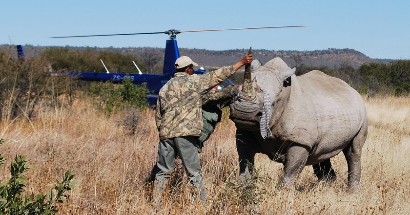 Microchipping a rhino in Madikwe
