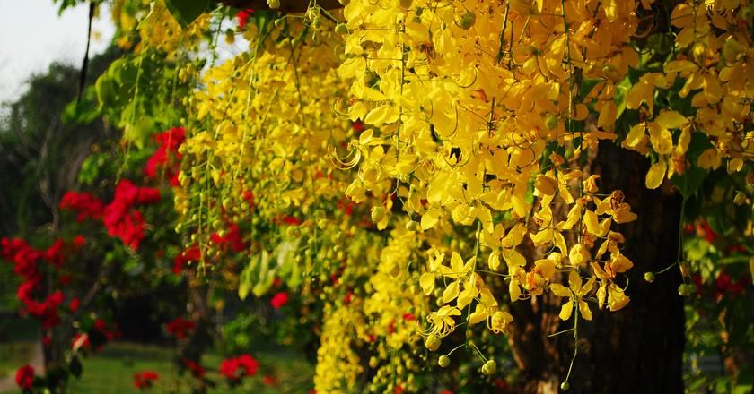 Ratchaphruek 11 Facts About Thailands National Flower