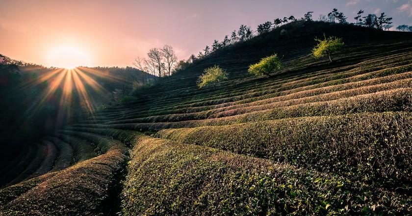 Tea fields at Daehan Dawon | © Giuseppe Milo / Flickr