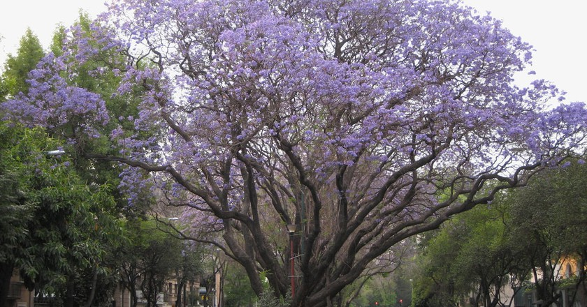 Jacarandas blooming in Mexico City