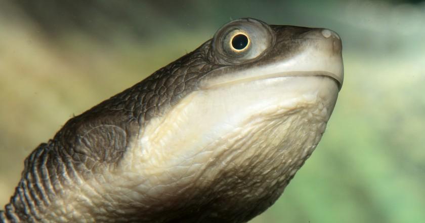 Australian long-necked turtle