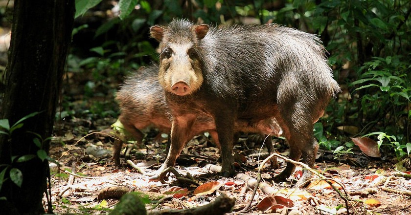 Protect the peccaries