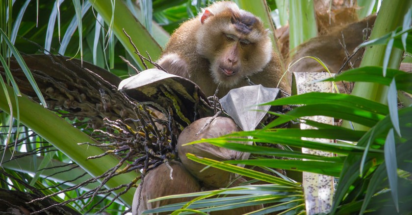 Monkey's harvest coconuts throughout southeast Asia