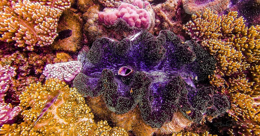 A colourful giant clam found on the Great Barrier Reef