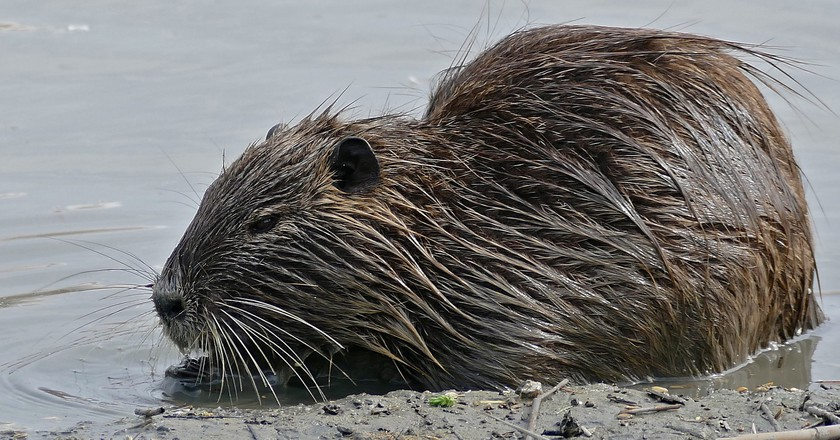 Coypu numbers are on the rise in Italy