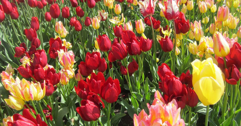 Some of the millions of Tulips in Holland
