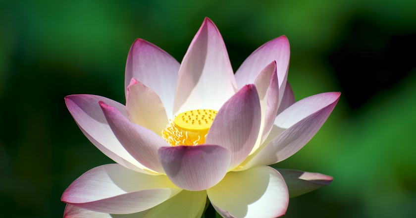 Lotus 11 facts about vietnams national flower lotus flower in bloom mightylinksfo