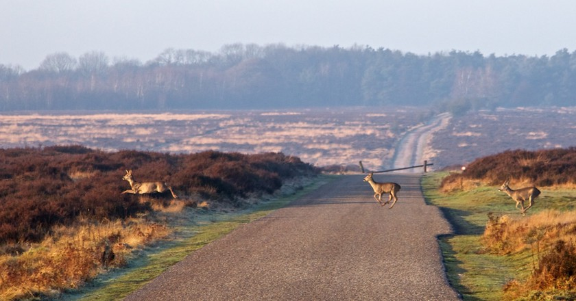 Deer in de Hoge Veluwe