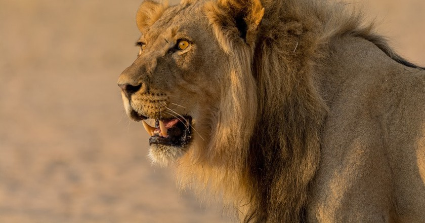 Male lion bathed in sunset light
