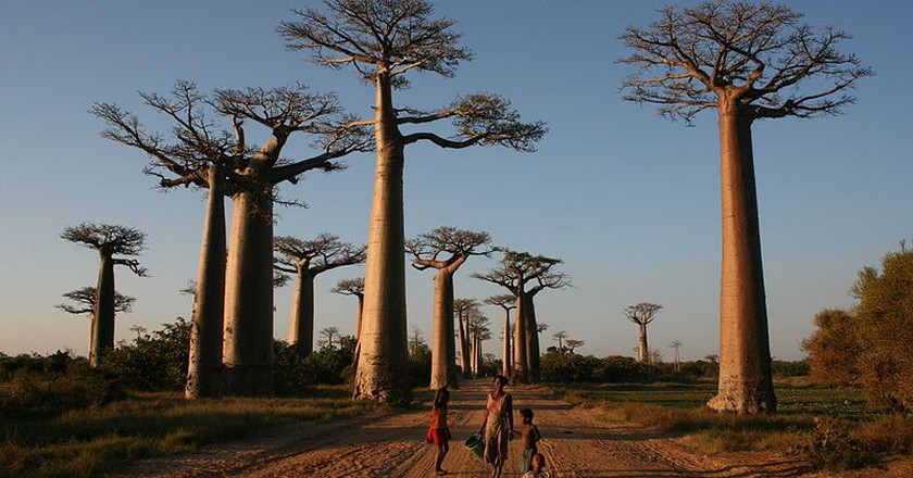 What You Should Know About Africa's Dying Ancient Baobabs