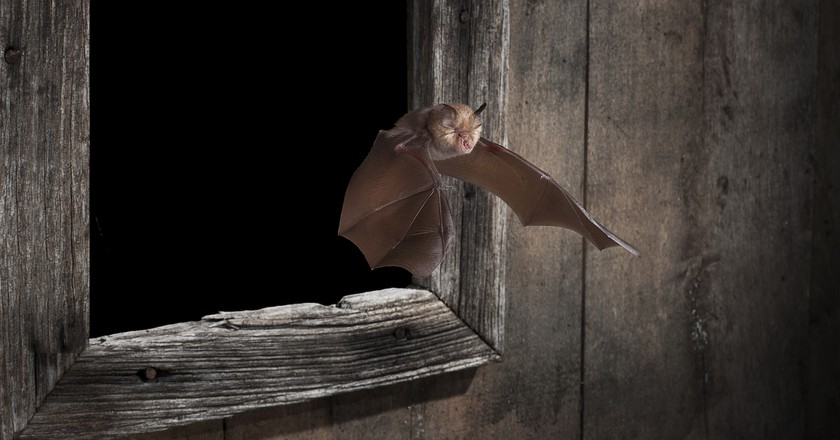 Bats, such as the greater horseshoe bat, is essential to the UK ecosystem