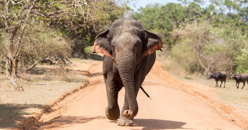 An elephant, one of Sri Lanka's 'big five', in Yala National Park