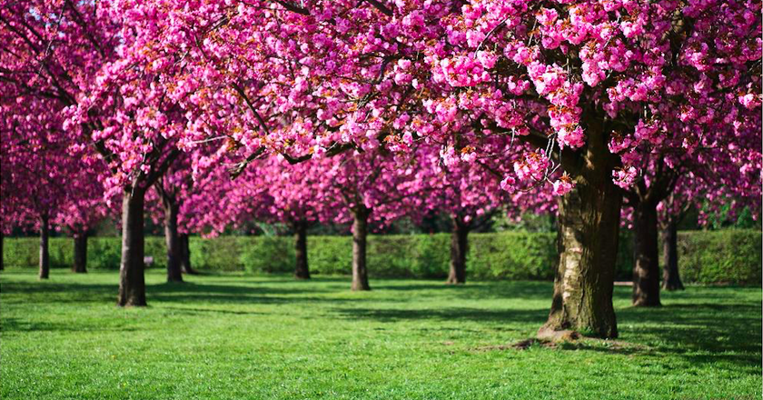 Cherry Blossoms At Sceaux | © Paucal/Flickr