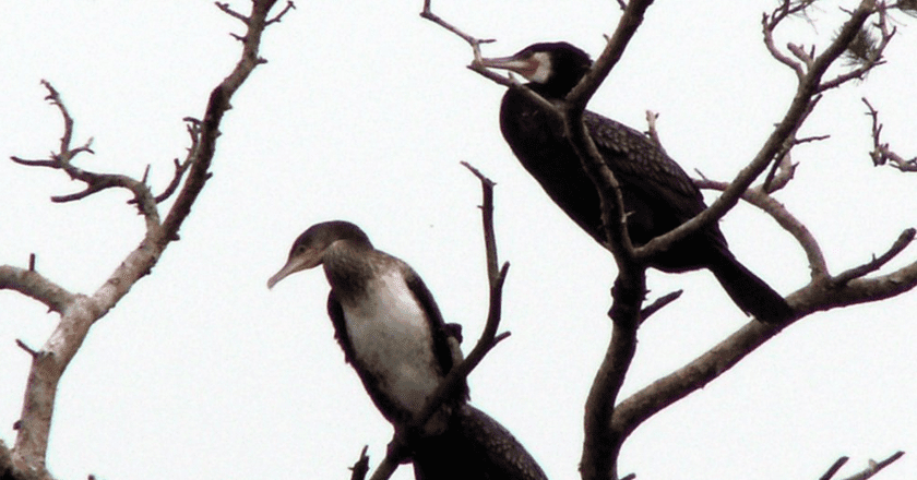 Cormorants nesting on the Curonian Spit | © Lazdynas/Wikimedia Commons