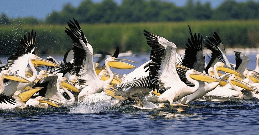 Pelicans in the Danube Delta    © Goliath / Wikimedia Commons